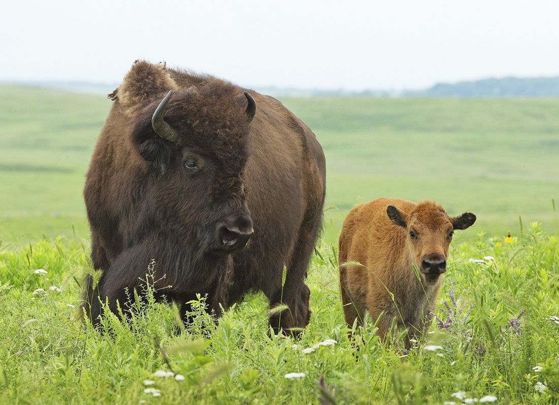 Buffalo in field with calf