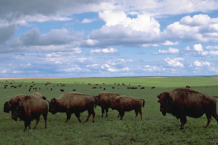 Herd of buffalo in a field